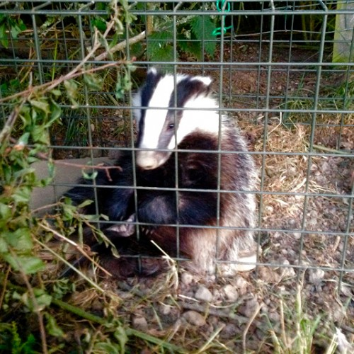 "Shropshire badger vaccination programme ""a resounding success"""