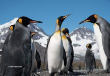 Majestic Emperor Penguins in the Antarctic summer. Photo: Ben Osborne