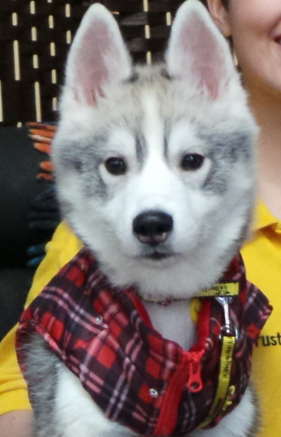 Dogs Trust Gets Ready For Influx Of Wolf Lookalike