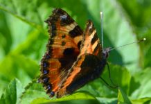 A small tortoiseshell Eurasian butterfly photographed at Old Oswestry Hillfort. Photo: Graham Mitchell