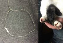 The snare trap which caused unnecessary suffering to the cat. Photos: RSPCA