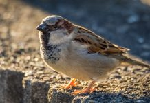 The house sparrow comes out top in Shropshire