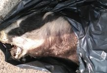 Badger dumped on M54