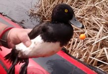 The tufted duck with a carp hook embedded in its beak. Photo: RSPCA