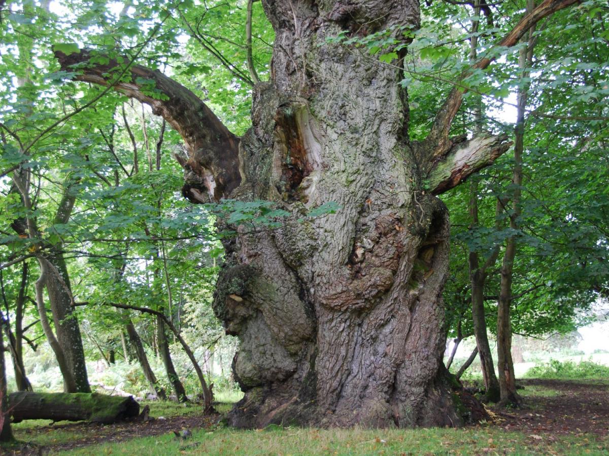 Moor Park Oak