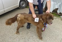 One of the emaciated dogs found at Woodside Farm in Shropshire. Photo: RSPCA