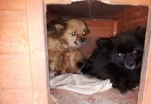 Two of the dogs seized by police during the operation. Photo: @LpptNWestMercia