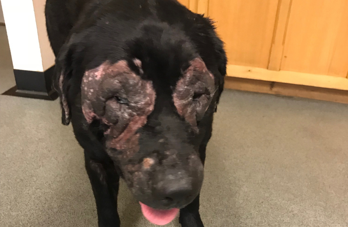 The black labrador called Abbie was so ill the vet decided she had to be put to sleep to end her suffering. Photo: RSPCA