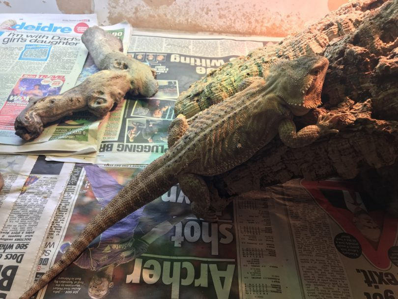 A Bearded dragon was found dumped in shoebox. Photo: RSPCA