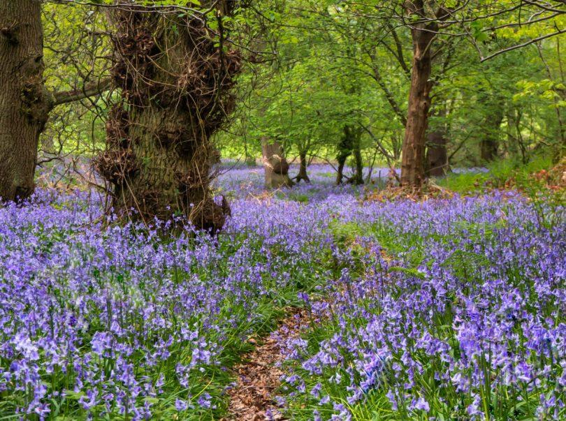 Tina Corfield - Bluebell Woodland Walk, The Wrekin
