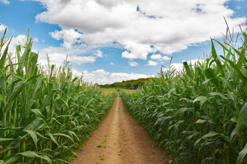 A stunning approach to Oswestry hillfort via a public pathway through a cornfield. Photo: Graham Mitchell