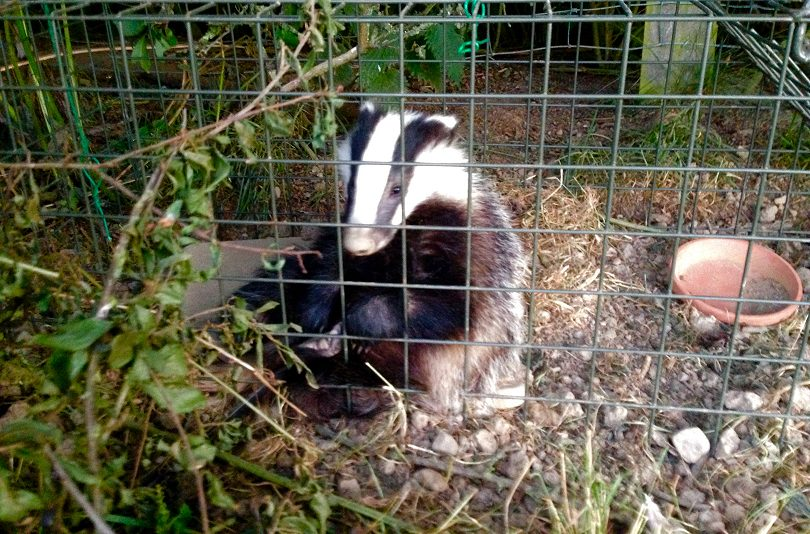 A badger cub awaits vaccination. Photo:  Michele Vaughan