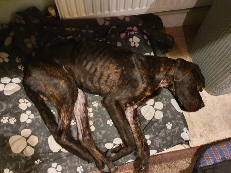 The dog, which is now called Big Mac, was found to weigh just 20kg - which is half the weight he should be.