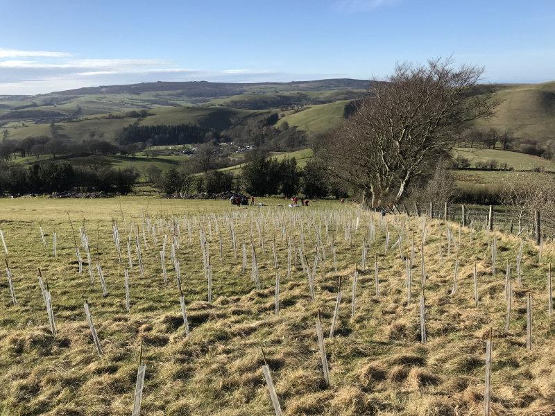 Tree planting at Belmore Farm near Ratlinghope