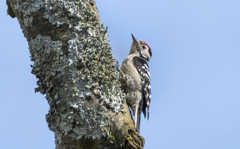 A Lesser Spotted Woodpecker pictured at Kinver Edge. Photo: Matthew Lissimore