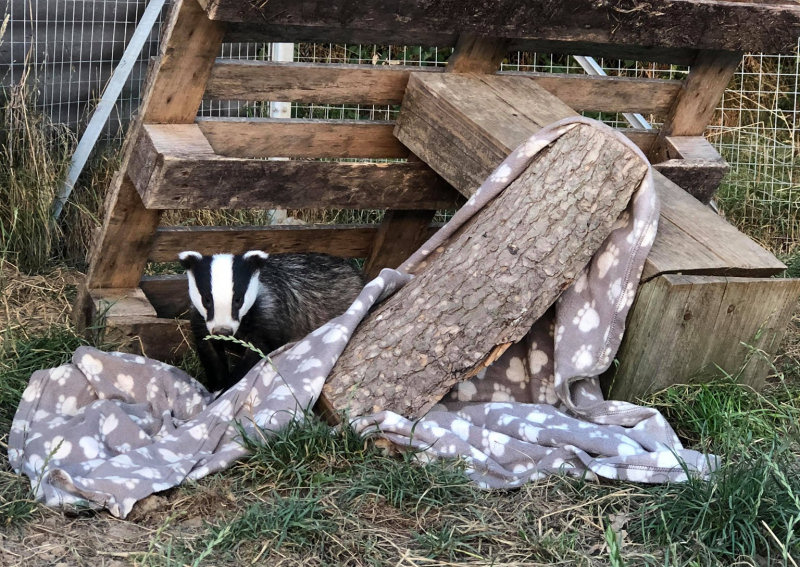 The badger enclosure is a vital to enable the rehabilitation of orphaned cubs