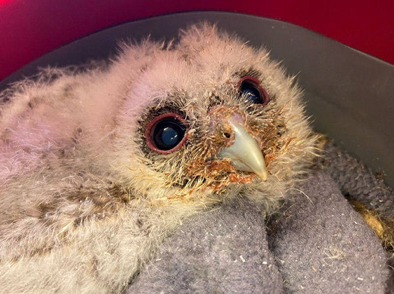 One of the baby owls. Photo: Cuan Wildlife Rescue