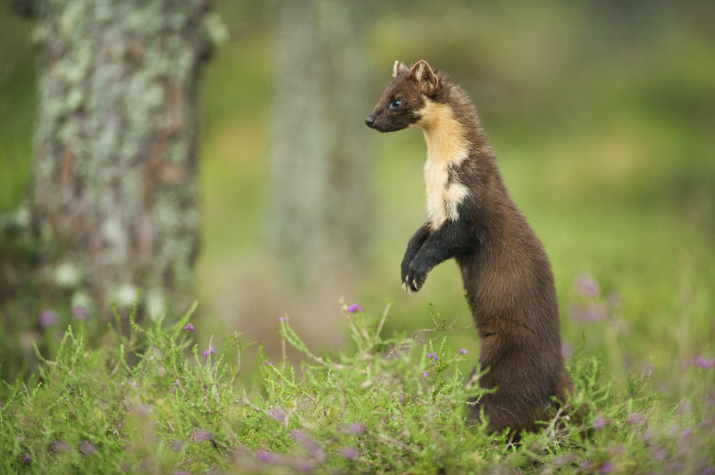 Part of the funding will support the work of the Shropshire Pine Marten Project. Photo: Terry Whittaker
